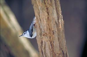 крупным планом, птица, усаживаться, головой вниз, вертикальные, дерево, ствол