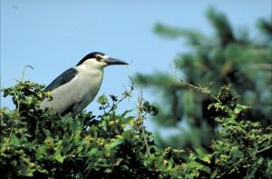 up-close, night heron, bird, standing, top, bush