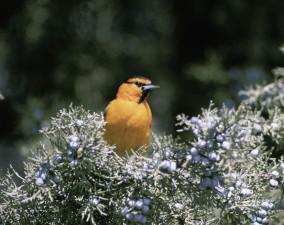 up-close, bullocks, oriole, bird, sitting, tree, branch