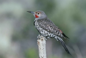 up-close, northern flicker, bird, sitting, dead, branch