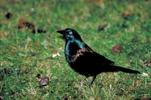 commun, noir, grackle, oiseau