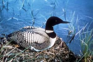 common, loon, bird, sitting, nest