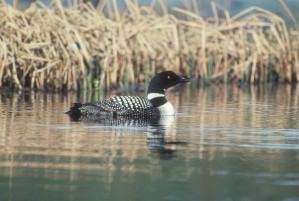 common, loon, water