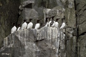 common, murres, castle, rock, shumagin, islands