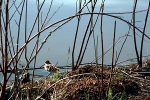 common, snipe, bird, river