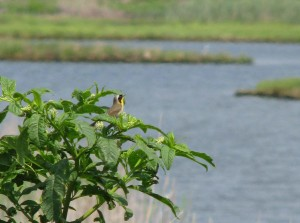 comune Yellowthroat, uccello, Geothlypis, trichas, cespuglio