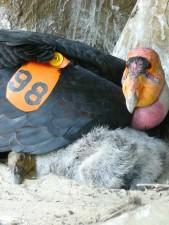 californie, condor, poussin, à proximité