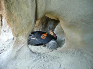 Californien, condor, chick, reden, cave