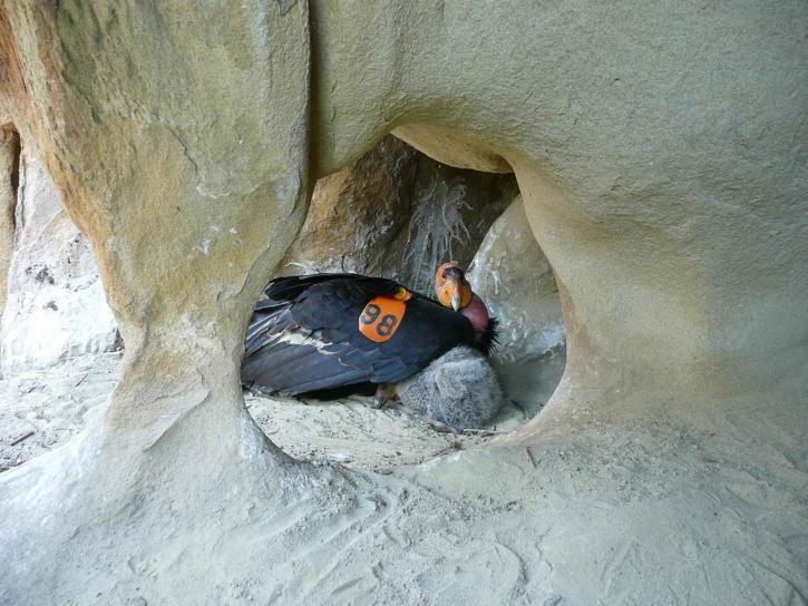 californie, condor, poussin, nid, grotte