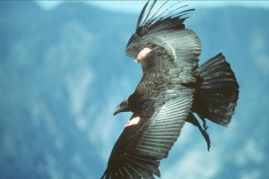 Californien, condor, flight