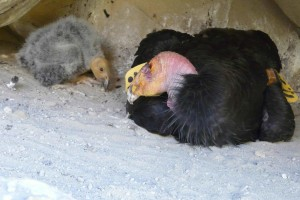california, condor, chick, birds, gymnogyps, californianus