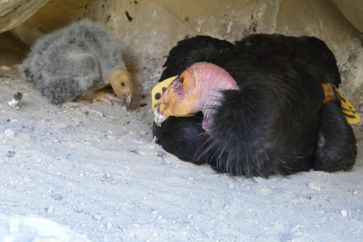Калифорния, Кондор, пилета, птици, gymnogyps californianus