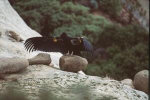 Californien, condor, tag