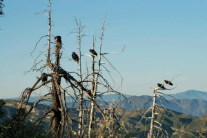 california, condors, roosting, tree, snags
