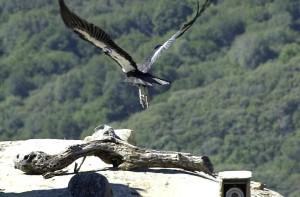 Condor, fugl, vultur gryphus