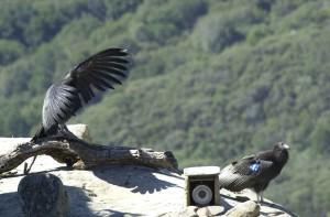 condors, release