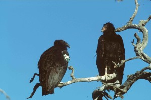 juvenile, condors, gymnogyps californianus