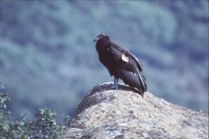 Tagged, Californien, condor, fugl, rock