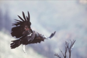 tagged, california, condor, flight