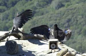 two, condors, release, radio, telemetry, devise