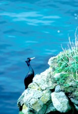 cormorant, cliffs, edge