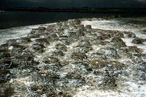 cormoran, nids, plage