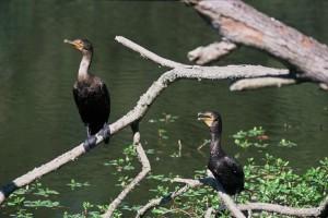 cormorants, birds