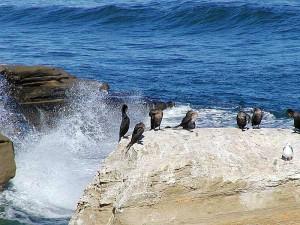 cormoran, océan, oiseaux