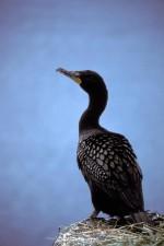 double, aigrettes, noir, cormoran, Phalacrocorax, auritus