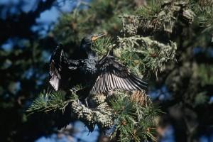 double, aigrettes, cormoran