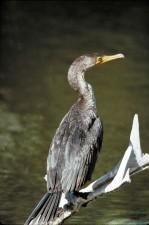 double, aigrettes, cormoran, rivière