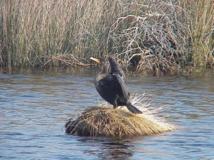 double, aigrettes, cormorans, phalacrocorax, auritus, oiseau, lac, nid