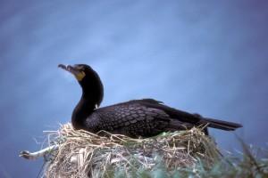 อ่าวคู่ นก นกกาน้ำ pavlof
