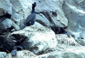 Phalacrocorax, urile, червено, изправени, корморан, птици, скали