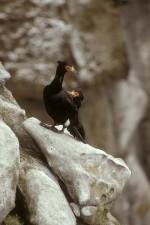 culoare roşie, cu care se confruntă, Cormoran, păsări, pereche, phalacrocorax urile