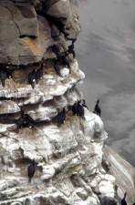 red, faced, cormorant, colony