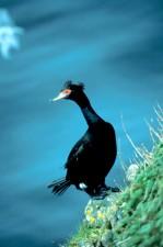 море, птица, червено, изправени, корморан, phalacrocorax urile
