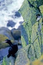 shorebirds, phalacrocorax, urile, cyclorrhynchus, psittacula