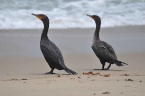 two, double, crested, cormorants, beach, sand