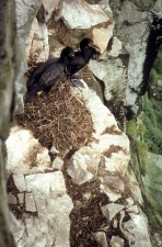 two, double, crested, cormorants, nesting, rocks