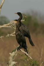 deux, Neotropic, cormoran, mort, branches, Neotropic, cormoran