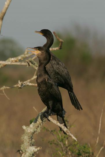 two, neotropic, cormorants, dead, branches, neotropic, cormorant