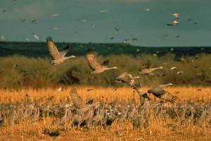 troupeau, sandhill, grues, sol, en vol