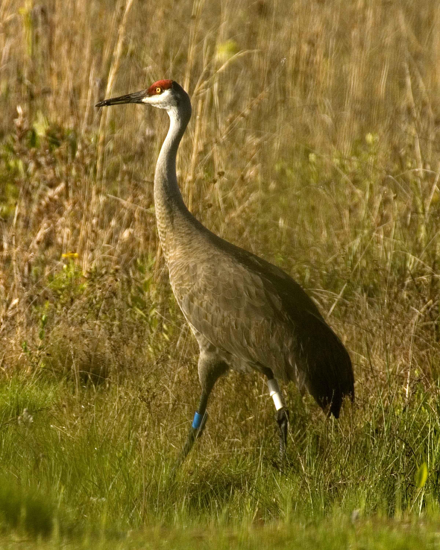 Free picture: mississippi, sandhill, crane, bird, grass, camouflage