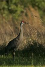 mississippi, sandhill, crane, camouflages, grass