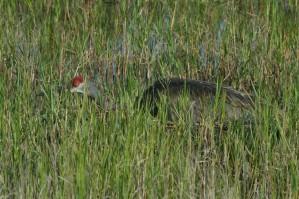 mississippi, sandhill, crane, wades, marsh