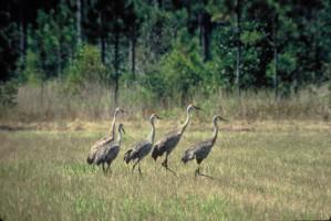 mississippi, sandhill, cranes