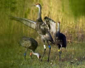 mississippi, sandhll, crane, birds, grus canadensis pulla