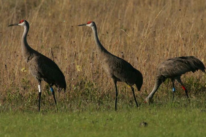 three, mississippi, sandhall, crane, flock, together, gras
