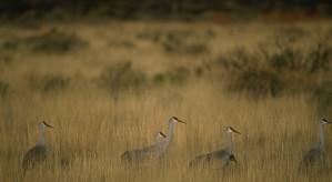 gruppe sandhill kraner, beite, feltet, bosque, nasjonalpark